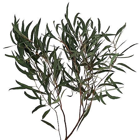 Eucalyptus Willow (40 stems)