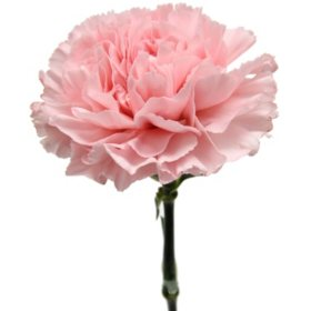 Carnations, Pink (Choose 50, 100, or 150 stems)