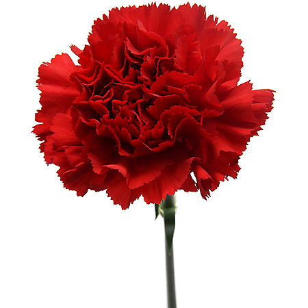 Carnations, Red (Choose 50, 100, or 150 stems)