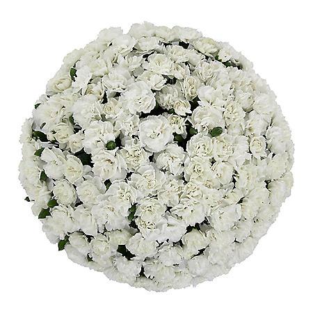 Mini Carnations, White (Choose 50, 100, or 150 stems)