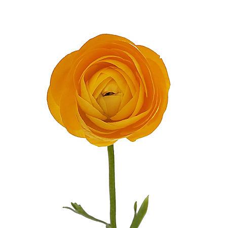Ranunculus, Yellow (choose 60 or 140 stems)