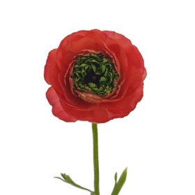 Ranunculus, Assorted Red & Coral with Green Center (choose 60 or 140 stems)