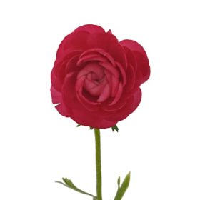 Ranunculus, Hot Pink (choose 60 or 140 stems)
