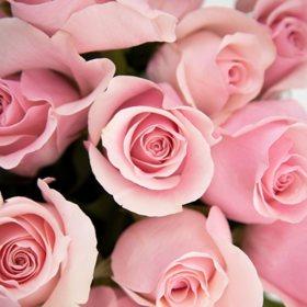 Long Stem Roses, Pink 55 cm (choose 50, 100 or 150 stems)