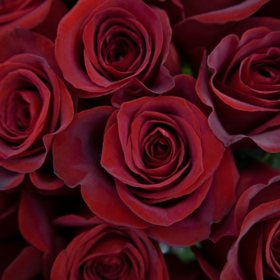 Long Stem Roses, Red (choose 50, 100 or 150 stems)