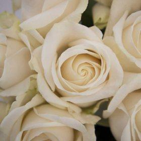 Vendela Roses, 50cm (choose 50, 75 or 100 stems)