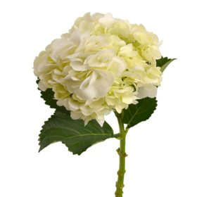 Hydrangea, White (Choose 25, 50 or 75 stems)