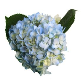 Hydrangea, Blue (Choose 25, 50 or 75 stems)