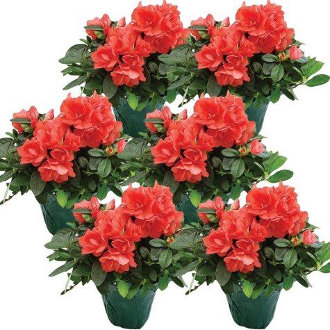 "4.5"" Keepsake Azalea - Coral - 6 pk."