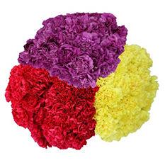 Carnations - Seasonal Colors (75 Stems)