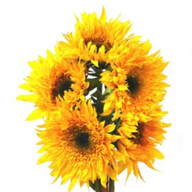Sunflowers, Sunsplash (80 stems)