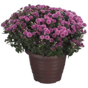 Hardy Mum Planter