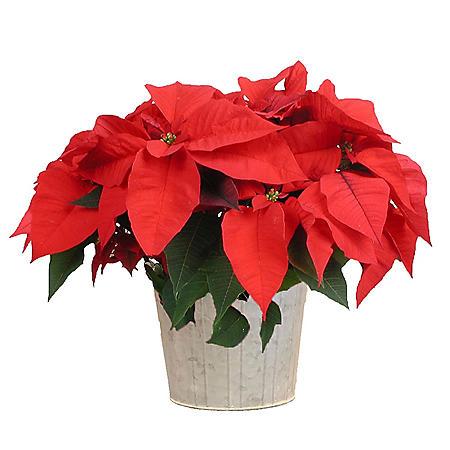 "6.5"" Poinsettia in Decorative Pot"