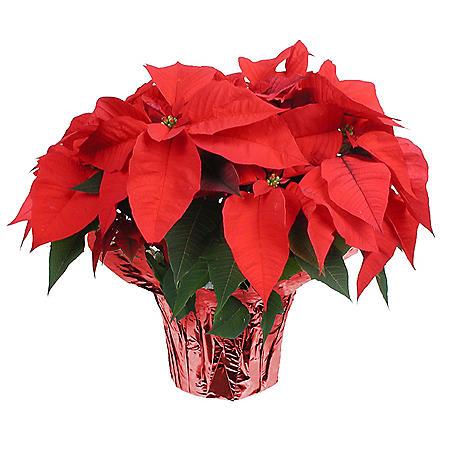 Poinsettia Planter