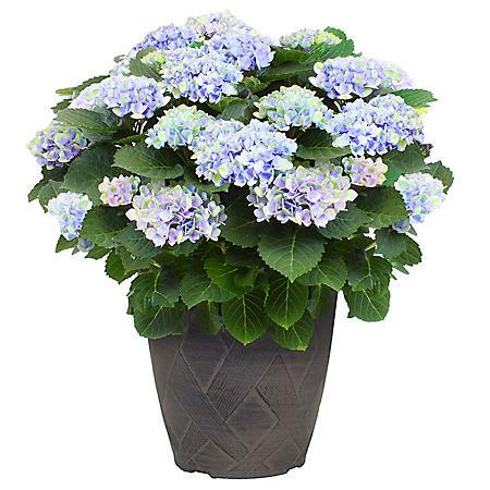 My Summer Hydrangea