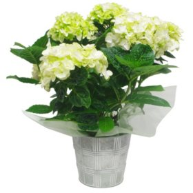 Hydrangea in Galvanized Pot