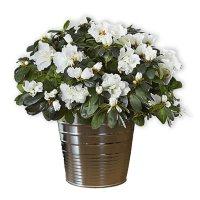 White Azalea Planter in Deccorative Tin