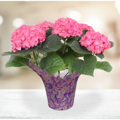 "6.5"" Hydrangea Plant"