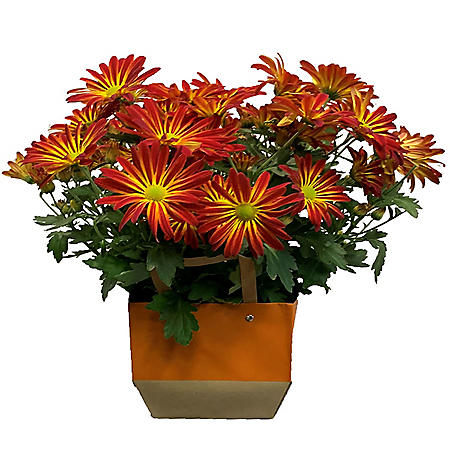 "Point Pelee 6.5"" Mum in Decorative Bag"