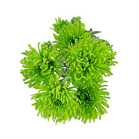 Button Poms, Green (Choose 80 or 100 stems)