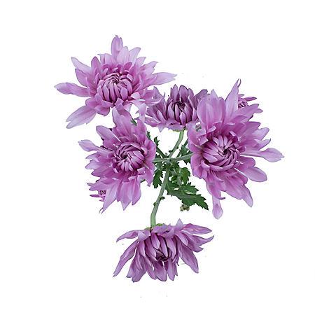 Cushion Poms, Lavender (Choose 80 or 100 stems)