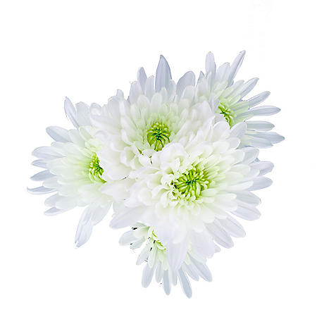 Cushion Poms, White (Choose 80 or 100 stems)