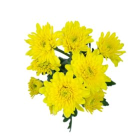 Cushion Poms, Yellow (Choose 80 or 100 stems)