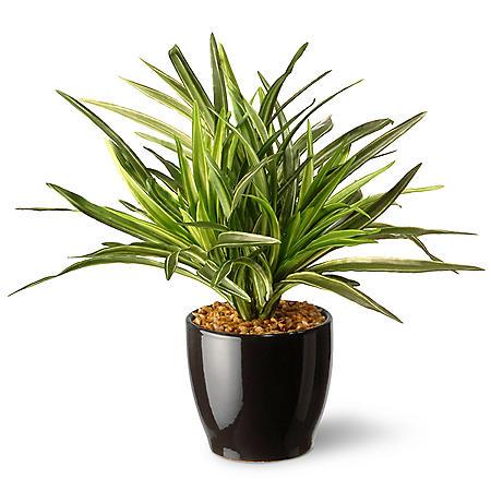 """National Tree Company 10.5"""" Dracaena Plant"""