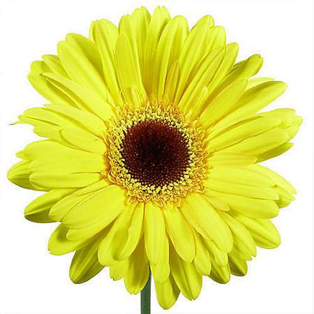 Gerbera Daisies - Yellow - 80 Stems