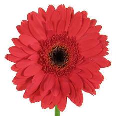 Gerbera Daisies - Red - 80 Stems