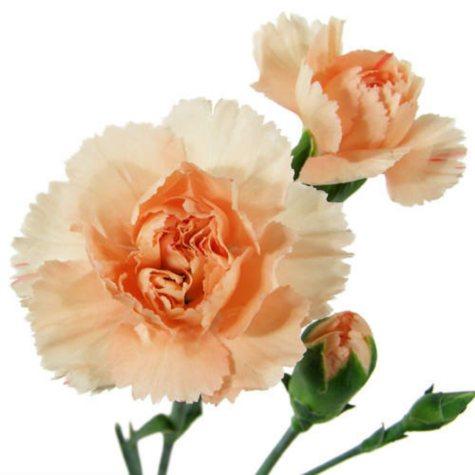Mini Carnations - Peach - 150 Stems