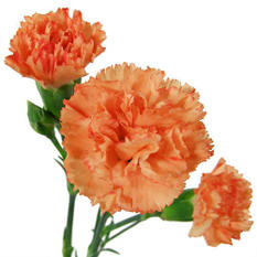 Mini Carnations, Orange (150 stems)