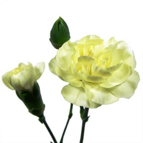Mini Carnations - Yellow (150 Stems)