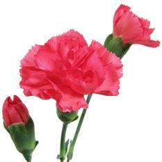 Mini Carnations - Hot Pink (150 Stems)