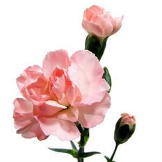 Mini Carnations - Pink - 150 Stems