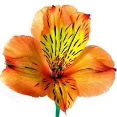 Alstroemeria, Orange (90 stems)