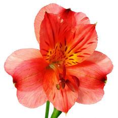 Alstroemeria, Red (90 stems)