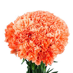Carnations, Orange (choose 150 or 300 stems)