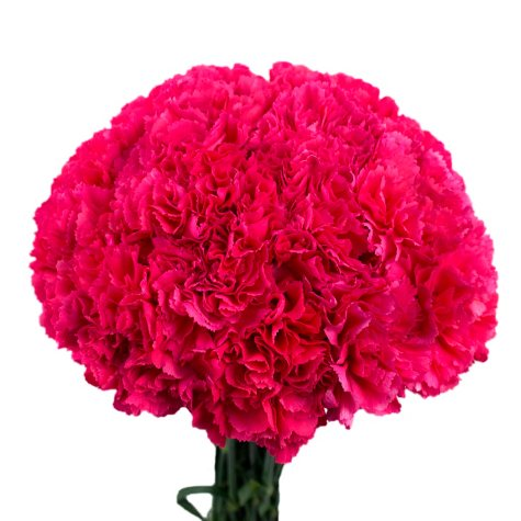 Carnations - Hot Pink (Choose stem count)