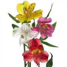 Alstroemeria, Assorted Colors (80 stems)