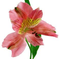 Alstroemeria, Pink (90 stems)