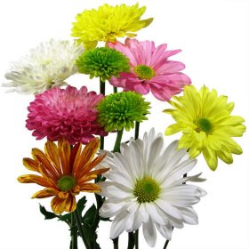 Cushion Daisy & Novelty Pompon  Assorted, 90 Stems
