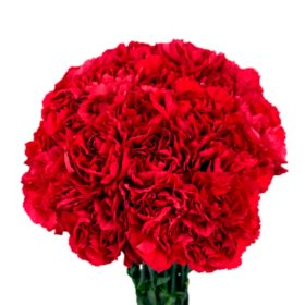 Carnations, Red (choose 150 or 300 stems)