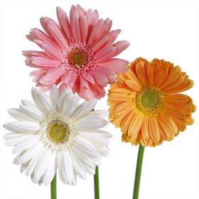 Gerbera Daisies - Assorted Soft Color - 80 Stems