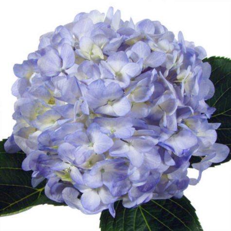 Hydrangeas, Natural  Blue and  White (26 Stems)