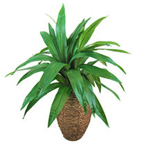 Yucca Palm in a Oval Basket with Faux Dirt