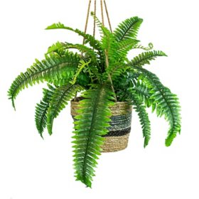 "30"" Boston Fern in Hanging Handwoven Basket"