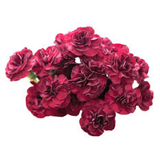 Mini Carnations, Burgundy (choose stem count)