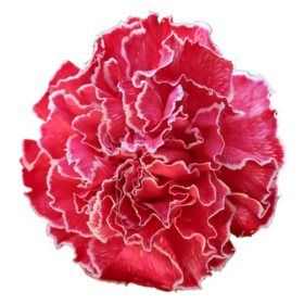 Carnations, Tinted Red (Choose 175 or 350 stems)
