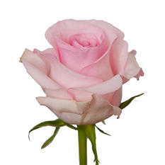 Long Stem Roses, Light Pink (100 stems)